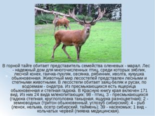 В горной тайге обитает представитель семейства оленевых - марал. Лес - надежн