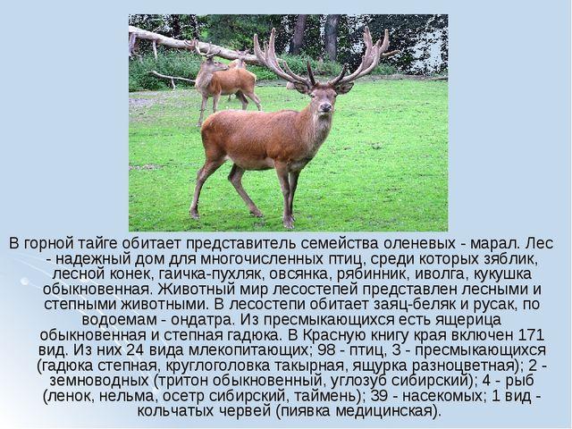 В горной тайге обитает представитель семейства оленевых - марал. Лес - надежн...