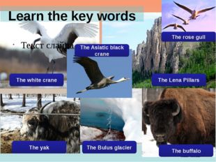 Learn the key words Текст слайда The white crane The Asiatic black crane The
