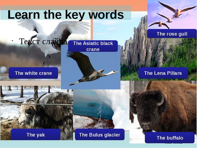 Learn the key words Текст слайда The white crane The Asiatic black crane The...