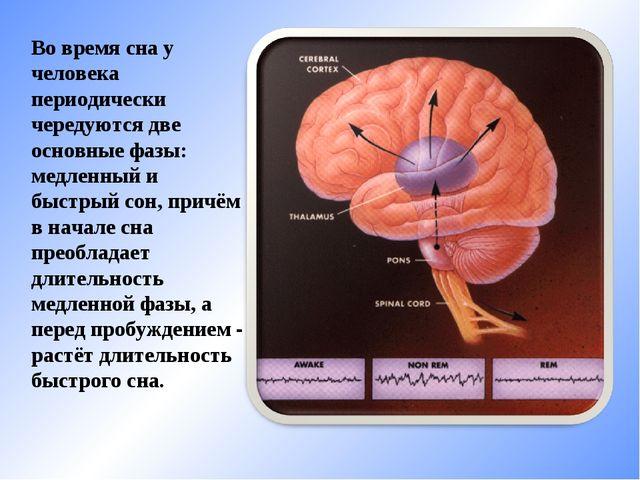 Во время сна у человека периодически чередуются две основные фазы: медленный...