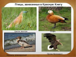Птицы, занесенные в Красную Книгу Цапля желтая Огарь Крохаль длинноносый Орла