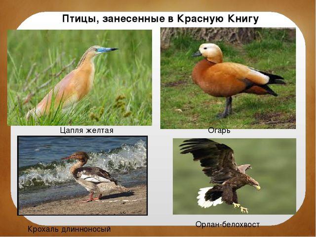 Птицы, занесенные в Красную Книгу Цапля желтая Огарь Крохаль длинноносый Орла...