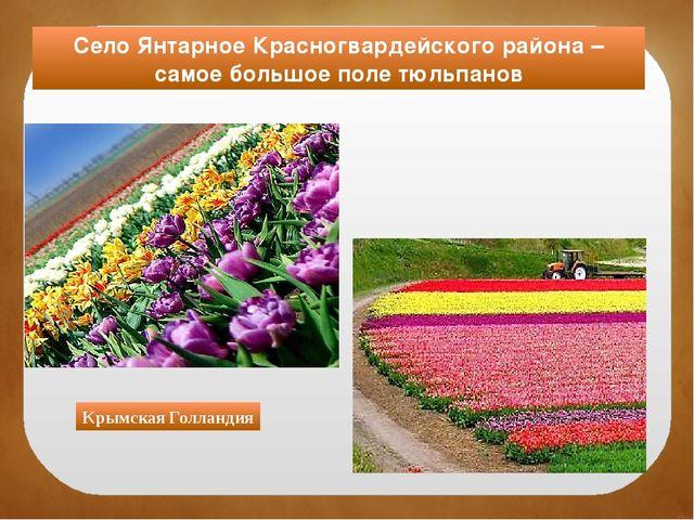 Село Янтарное Красногвардейского района – самое большое поле тюльпанов Крымск...