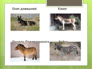 Осел домашний Кианг Лошадь Пржевальского Зебра