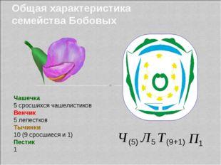 Общая характеристика семейства Бобовых Чашечка 5 сросшихся чашелистиков Венчи