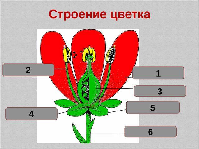 Лепесток 1 Тычинка 2 Цветоложе 4 Цветоножка 6 Чашелистик 5 пестик 3 Строение...