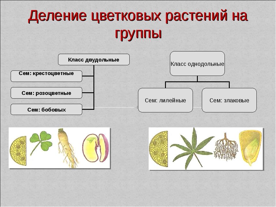 Деление цветковых растений на группы