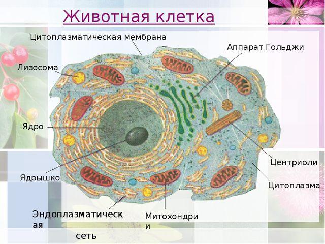 Животная клетка Аппарат Гольджи Центриоли Митохондрии Лизосома Эндоплазматиче...