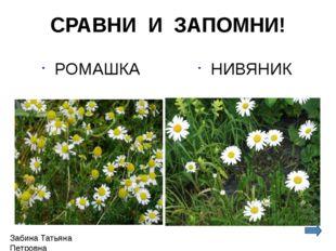 СРАВНИ И ЗАПОМНИ! РОМАШКА НИВЯНИК Забина Татьяна Петровна