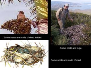 Some nests are huge! Some nests are made of mud. Some nests are made of d