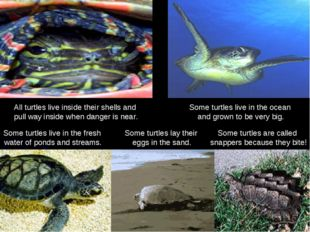 All turtles live inside their shells and pull way inside when danger is near.