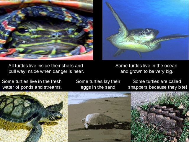All turtles live inside their shells and pull way inside when danger is near....