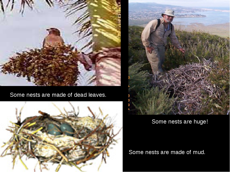Some nests are huge! Some nests are made of mud. Some nests are made of d...