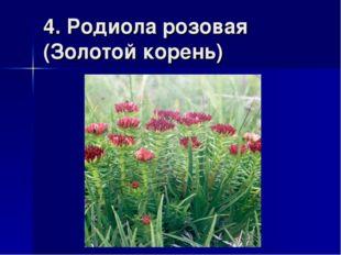 4. Родиола розовая (Золотой корень)