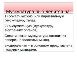 Мускулатура рыб делится на: 1) соматическую, или париетальную (мускулатуру т