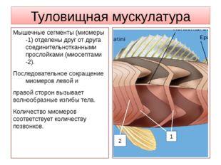 Туловищная мускулатура Мышечные сегменты (миомеры -1) отделены друг от друга