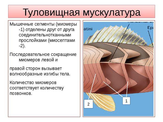Туловищная мускулатура Мышечные сегменты (миомеры -1) отделены друг от друга...