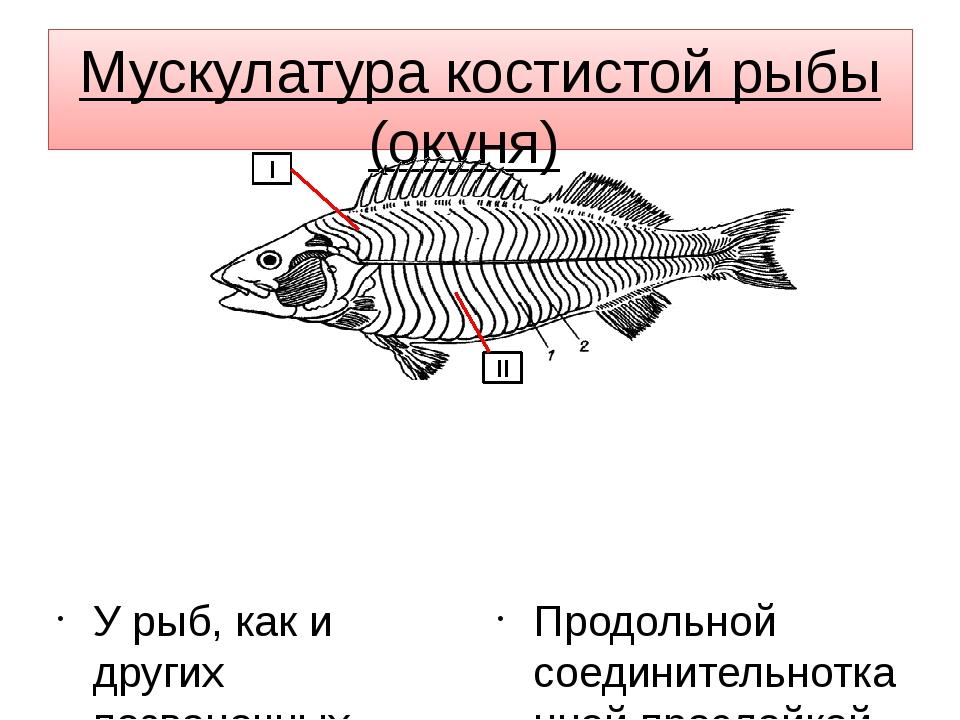 Мускулатура костистой рыбы (окуня) У рыб, как и других позвоночных, сильнее...