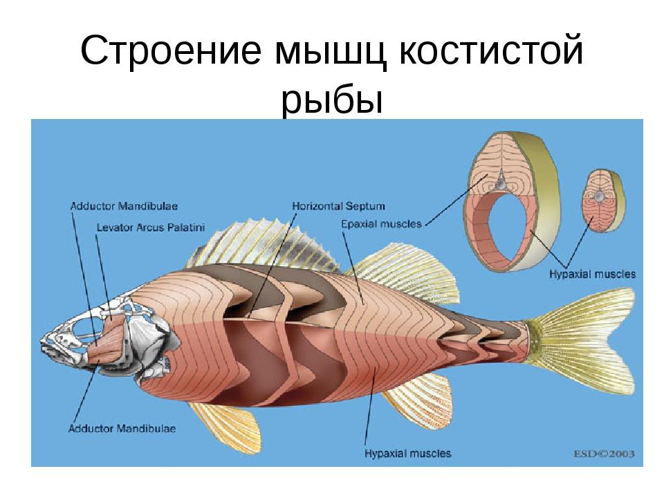 Строение мышц костистой рыбы