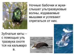 Зубчатые киты – с помощью уль тразвука охотя тся на кальмаров. Ночные бабочк