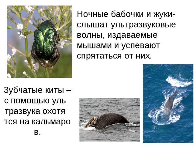 Зубчатые киты – с помощью уль тразвука охотя тся на кальмаров. Ночные бабочк...