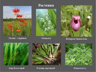 Растения Лилия - саранка Венерин башмачок Аир болотный Клевер красный Жимолос