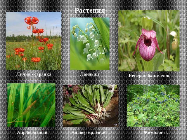 Растения Лилия - саранка Венерин башмачок Аир болотный Клевер красный Жимолос...