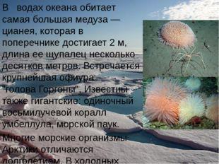 В водах океана обитает самая большая медуза — цианея, которая в поперечнике д