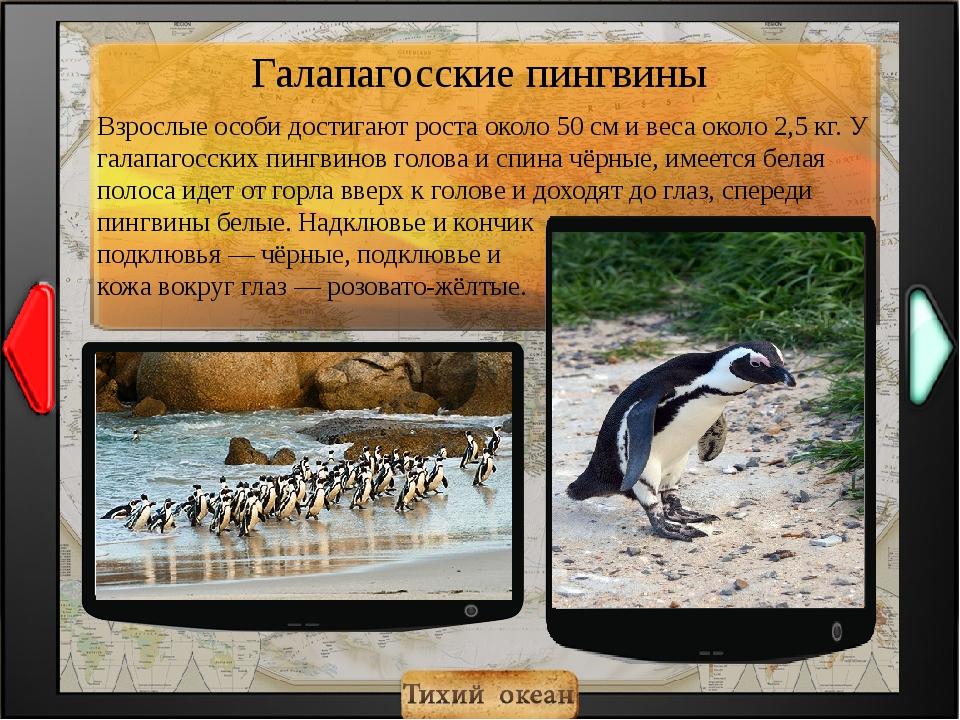 Взрослые особи достигают роста около 50 см и веса около 2,5 кг. У галапагосск...