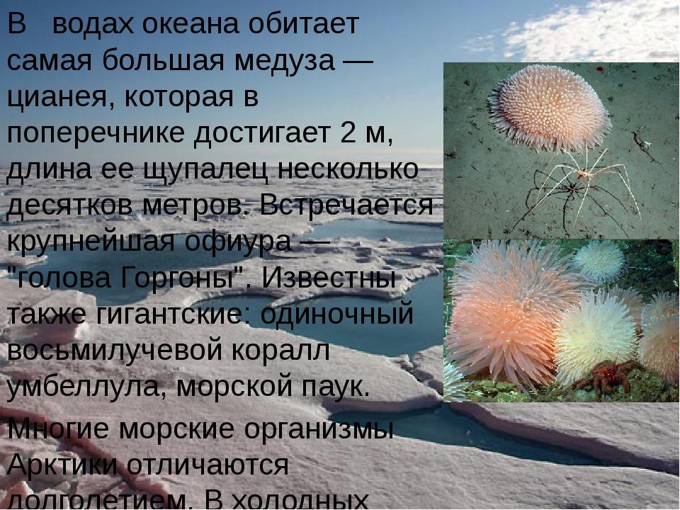 В водах океана обитает самая большая медуза — цианея, которая в поперечнике д...