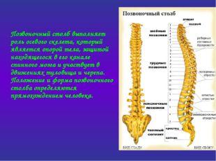 Позвоночный столб выполняет роль осевого скелета, который является опорой те