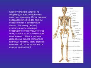 Скелет человека устроен по общему для всех позвоночных животных принципу. Кос