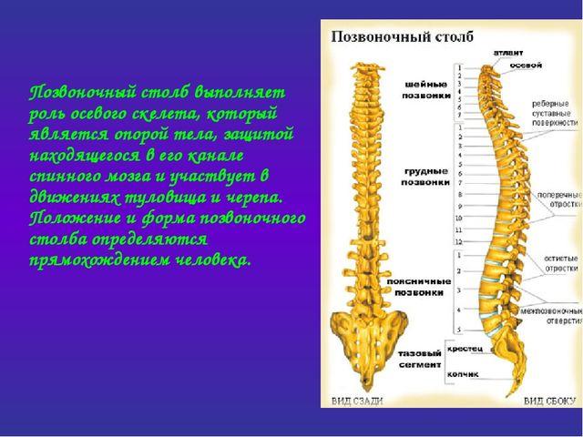 Позвоночный столб выполняет роль осевого скелета, который является опорой те...