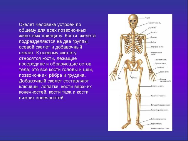 Скелет человека устроен по общему для всех позвоночных животных принципу. Кос...