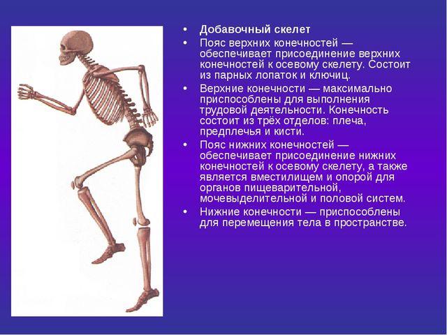 Добавочный скелет Пояс верхних конечностей — обеспечивает присоединение верхн...