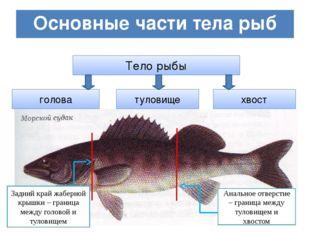 Основные части тела рыб Тело рыбы голова туловище хвост Задний край жаберной