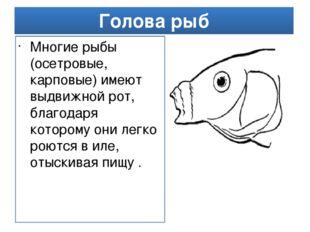 Голова рыб Многие рыбы (осетровые, карповые) имеют выдвижной рот, благодаря к