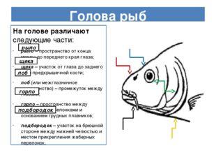 Голова рыб На голове различают следующие части: рыло – пространство от конца
