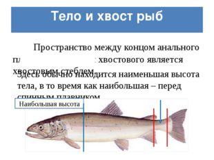 Тело и хвост рыб Пространство между концом анального плавника и началом хвост