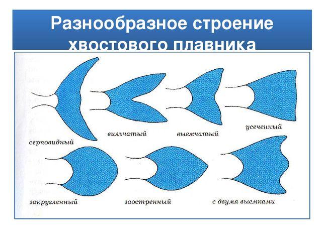 Разнообразное строение хвостового плавника