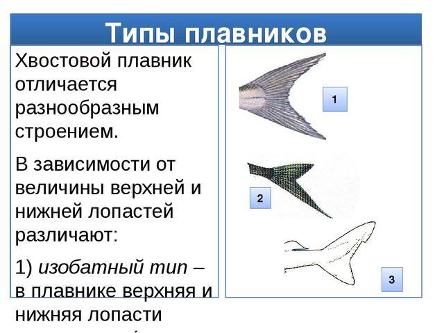 Типы плавников Хвостовой плавник отличается разнообразным строением. В зависи...