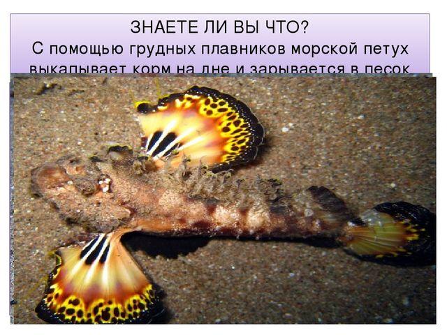 ЗНАЕТЕ ЛИ ВЫ ЧТО? С помощью грудных плавников морской петух выкапывает корм н...
