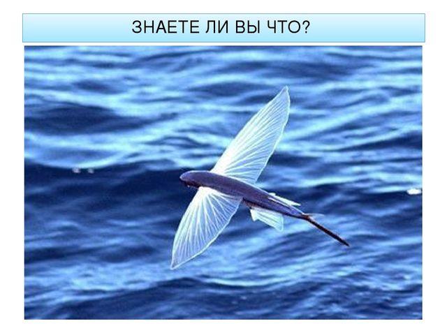 ЗНАЕТЕ ЛИ ВЫ ЧТО? Спасаясь от хищника, летучая рыба после разгона на хвосте р...