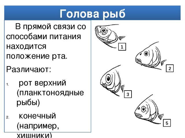 Голова рыб В прямой связи со способами питания находится положение рта. Разли...