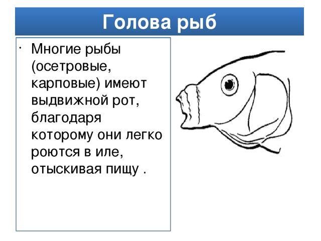 Голова рыб Многие рыбы (осетровые, карповые) имеют выдвижной рот, благодаря к...