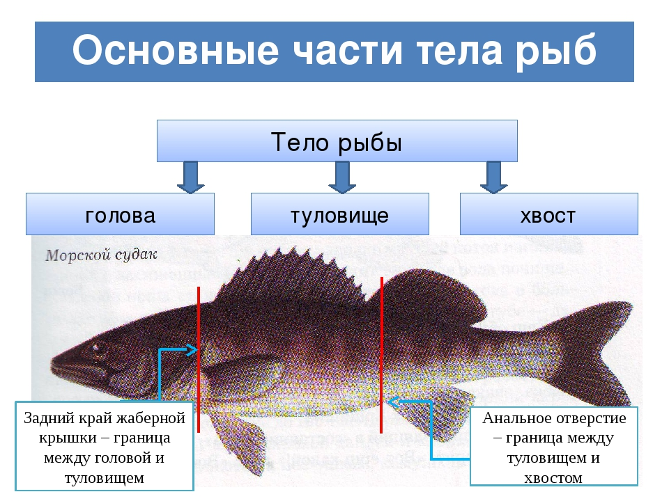 Основные части тела рыб Тело рыбы голова туловище хвост Задний край жаберной...