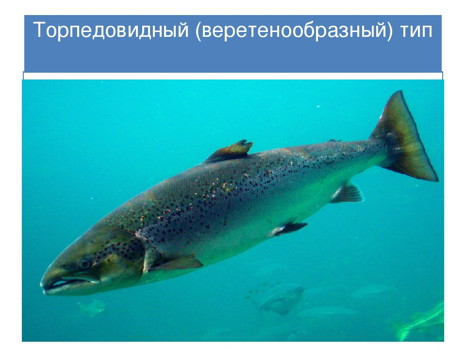 Торпедовидный(веретенообразный) тип Тело рыб похоже на торпеду или веретено,...