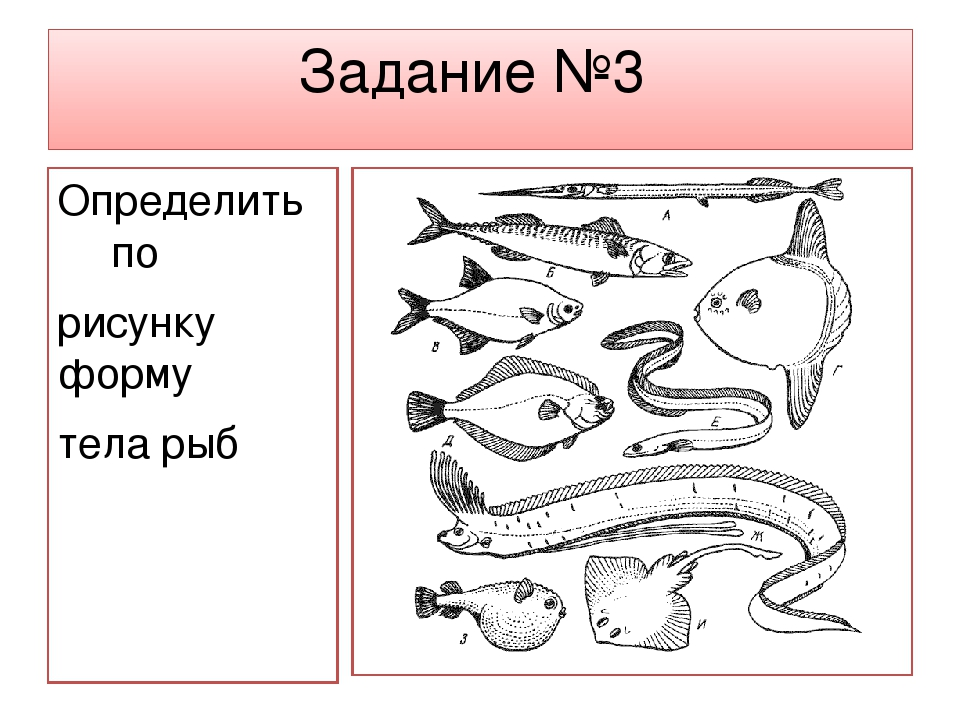 Задание №3 Определить по рисунку форму тела рыб