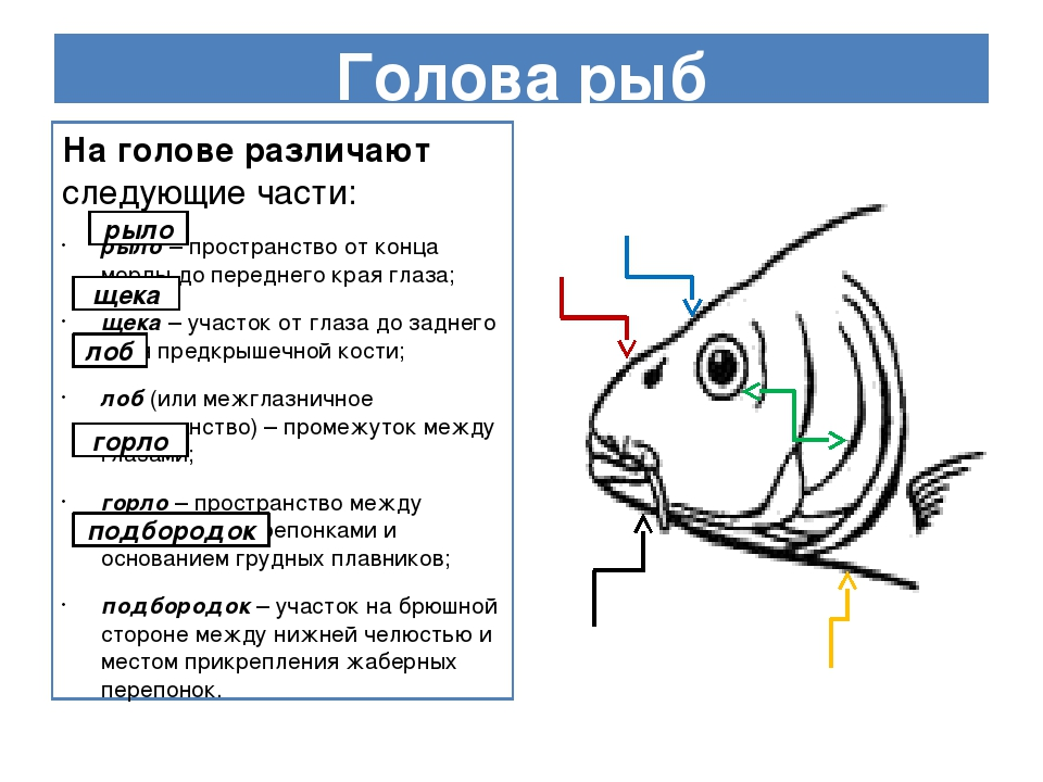 Голова рыб На голове различают следующие части: рыло – пространство от конца...